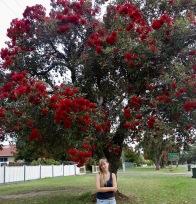 Eucalyptus in blossom