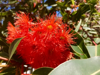 Eucalyptus blossom